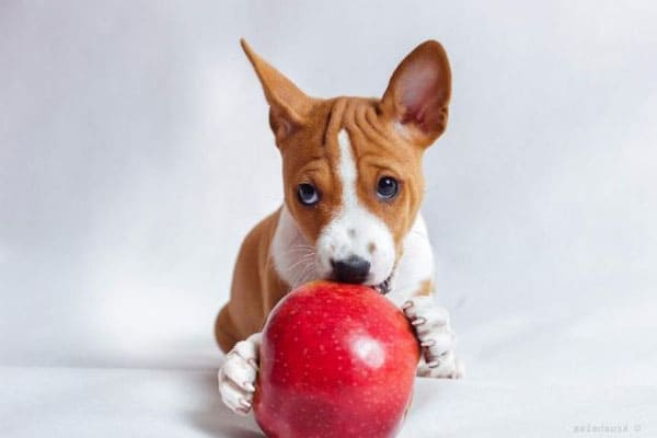 basenji pictures facts cute basenji puppies images photos