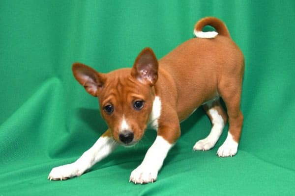 Basenji Pictures Amp Facts Cute Basenji Puppies Images