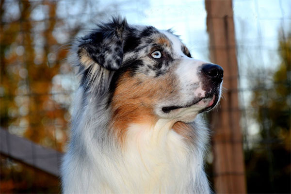 Australian Shepherd Dog Breed Pictures