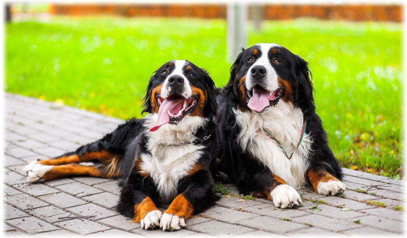 Bernese Mountain Dog Adult