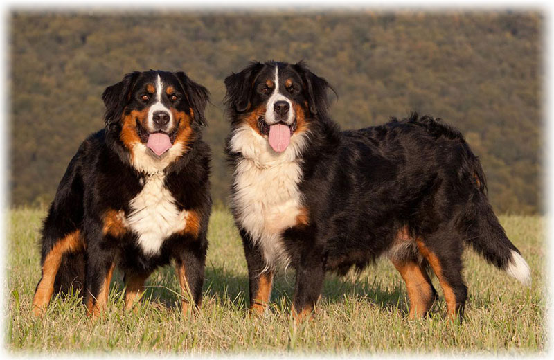 Size of Bernese Mountain Dog