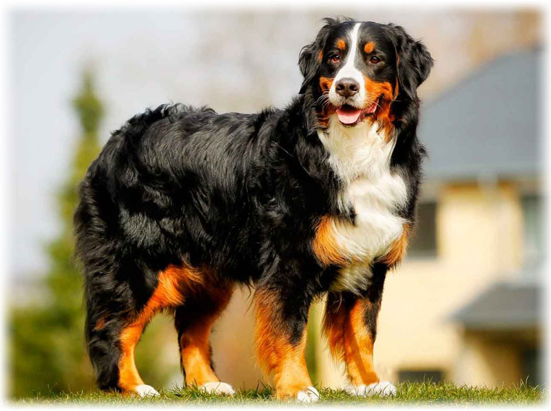 Bernese Mountain Dog Characteristics