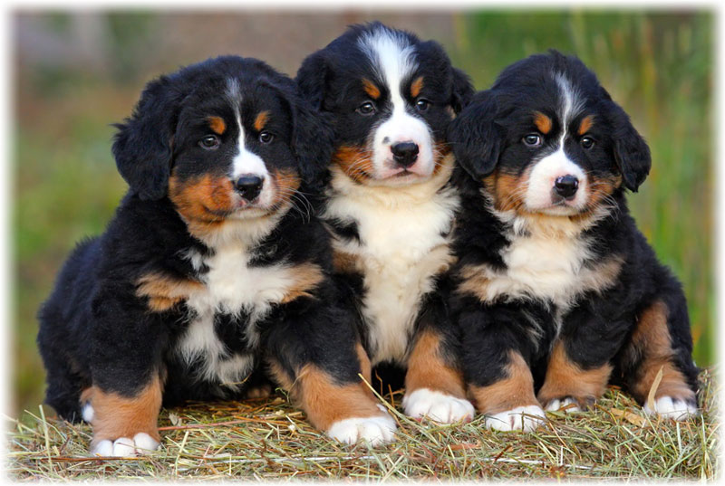 Colour Bernese Mountain Dog