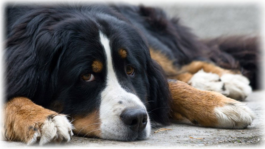 Bernese Mountain Dog Health Problems Feeding Bernese