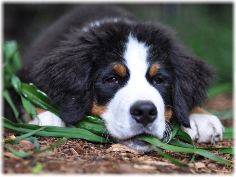 Bernese Mountain Dog Temperament and Personality