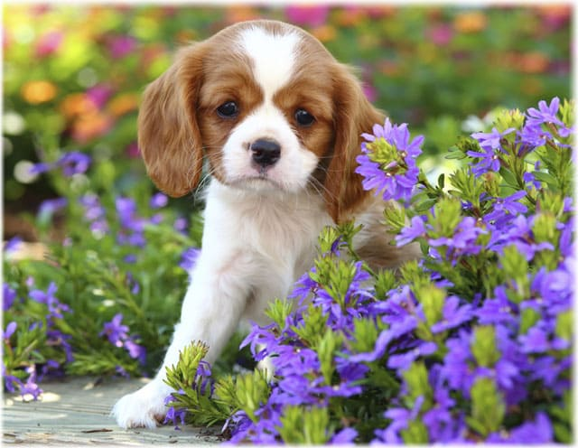 Cavalier King Charles Spaniel Care