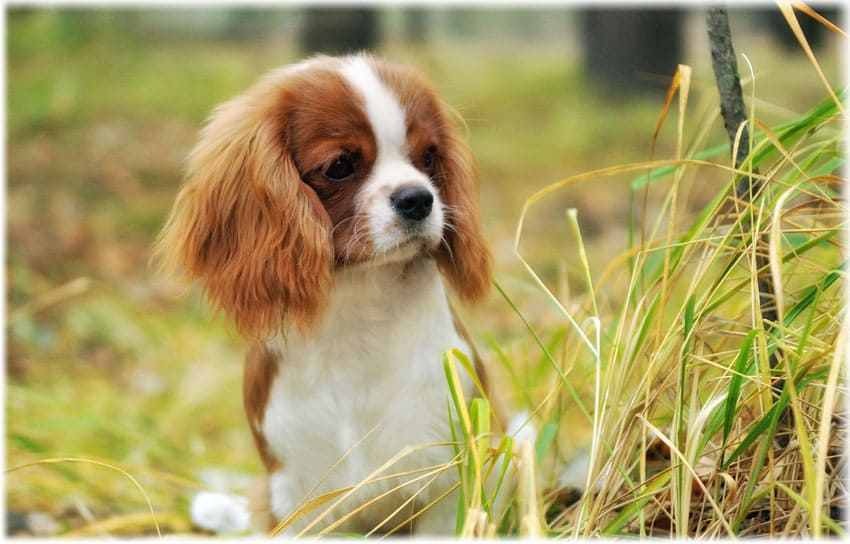 Ticks and Fleas in Cavalier King Charles Spaniels
