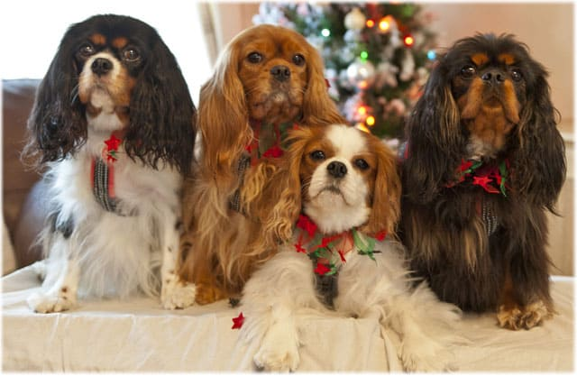 Cavalier King Charles Spaniels Pictures