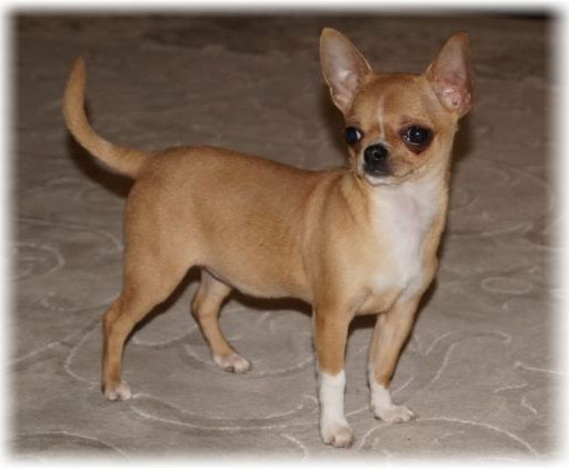 Chihuahua: Read About Appearance, Characteristics, Color