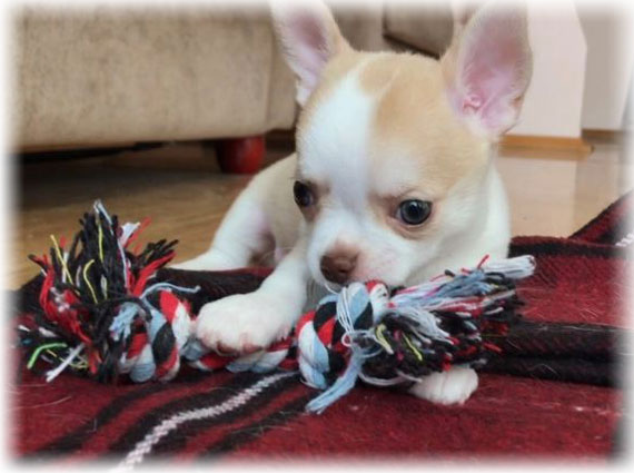 Chihuahua puppy with toy