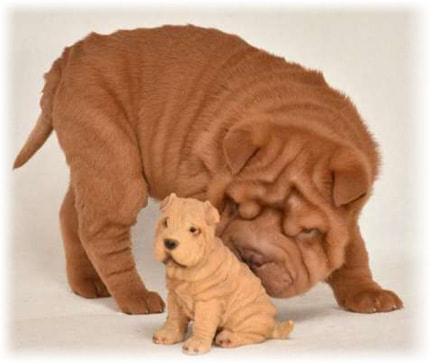 Chinese Shar-Pei Health Problems