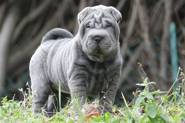Chinese Shar-Pei Pictures