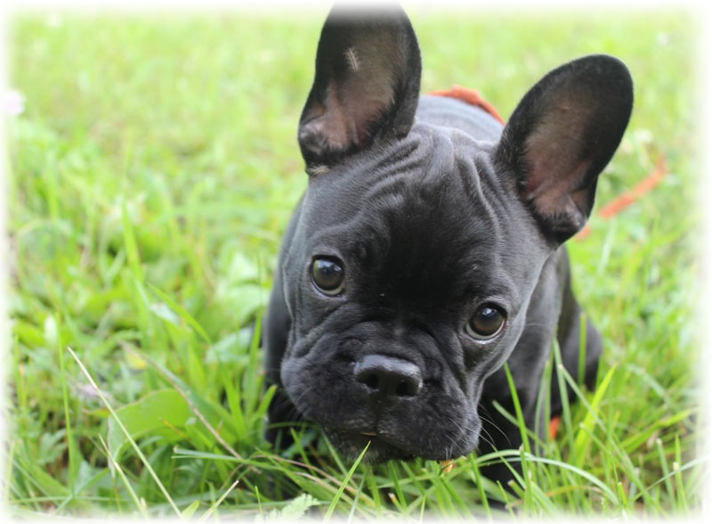 French bulldog with big eyes