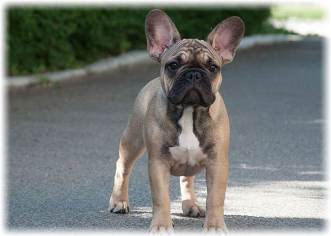 French bulldog is looking forward