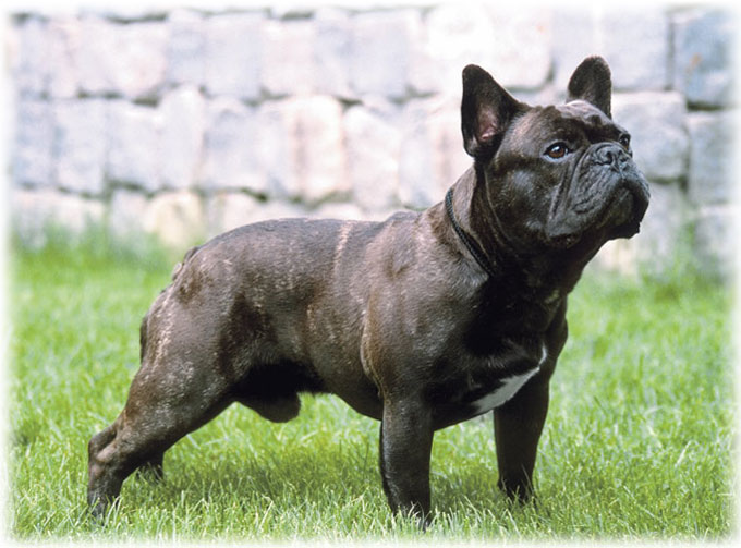 Male of French bulldog