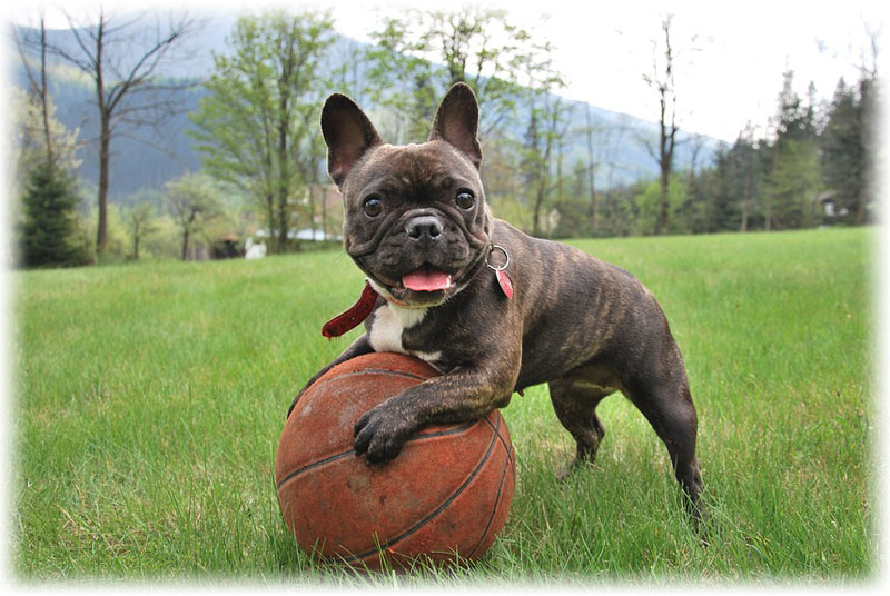 Cheerful French Bulldog with a ball