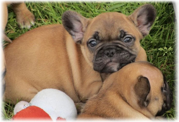 Little French Bulldog pappies