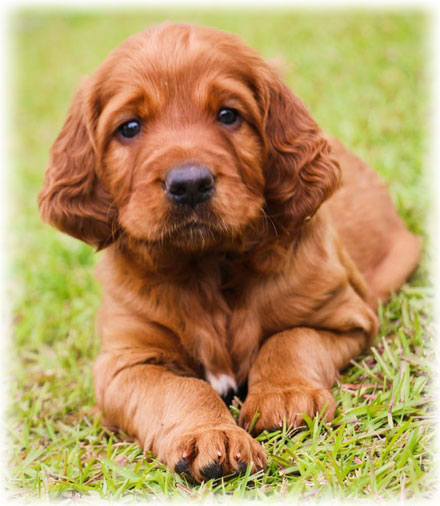 How to Care for an Irish Setter
