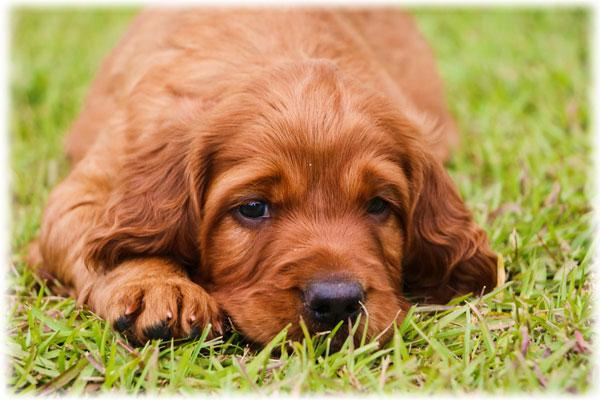 Irish Setter Health Problems