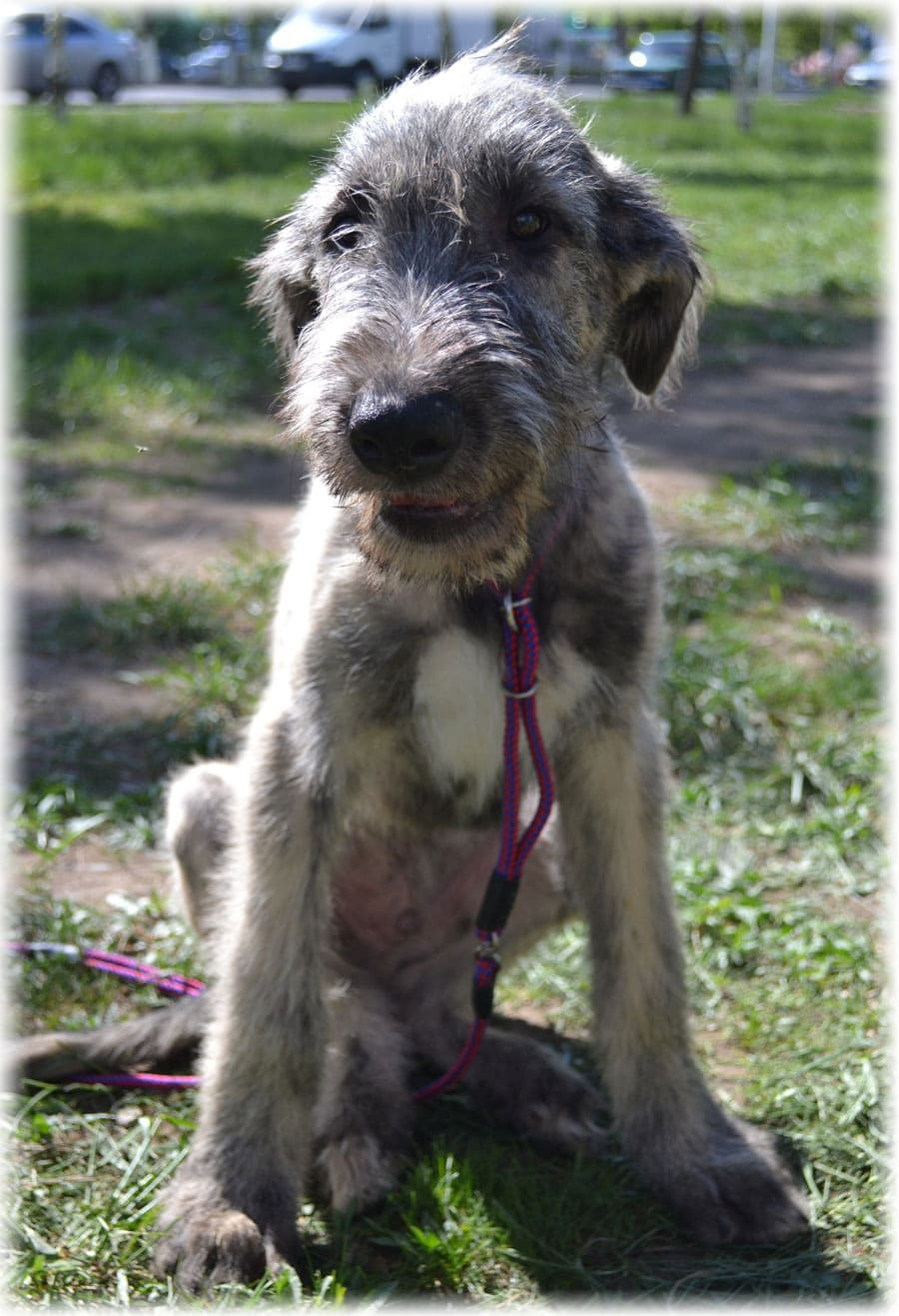 Irish Wolfhound Health Problems and Feeding