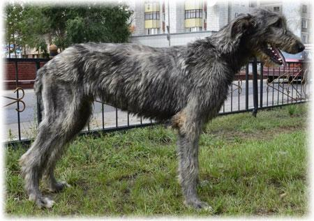 Irish Wolfhound Temperament