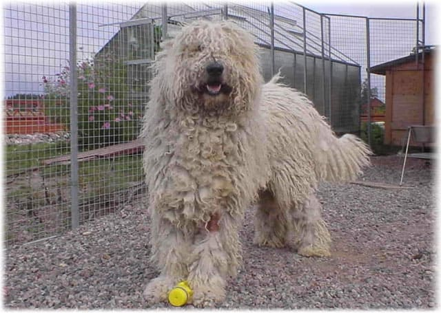 Komondor Temperament