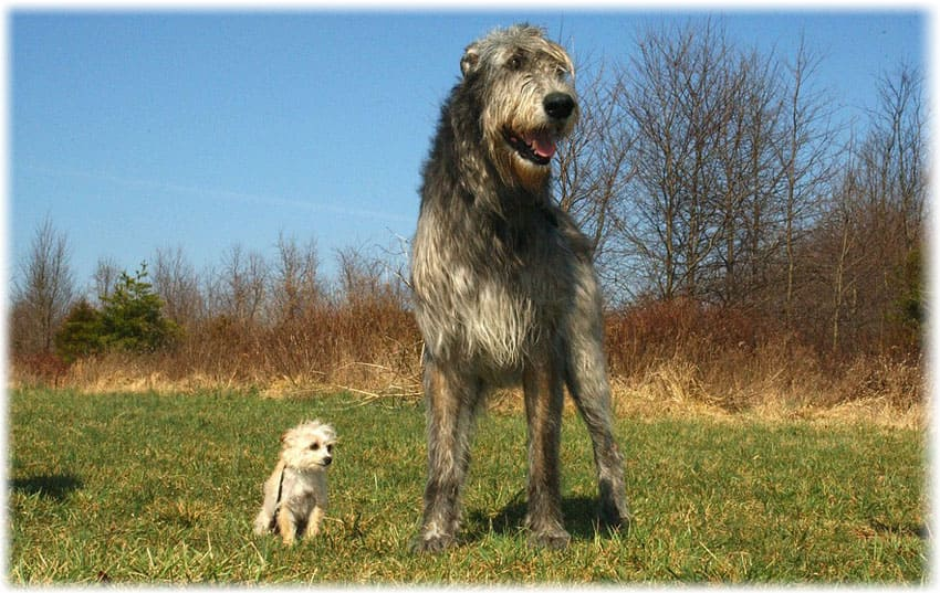 The Largest Dog Breeds In The World With Pictures