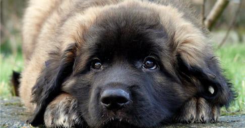 Leonberger Health Problems   Feeding Leonberger Puppies ...