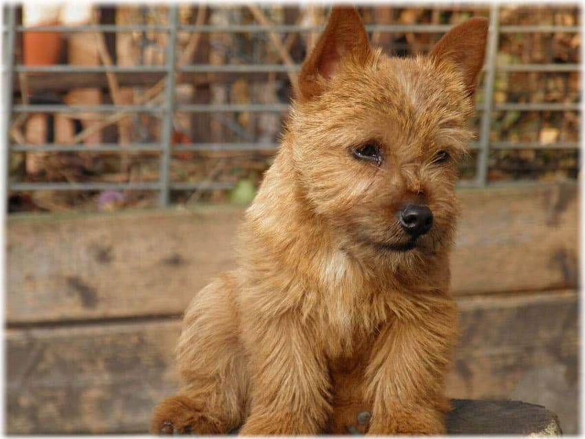 Color of Norwich Terrier