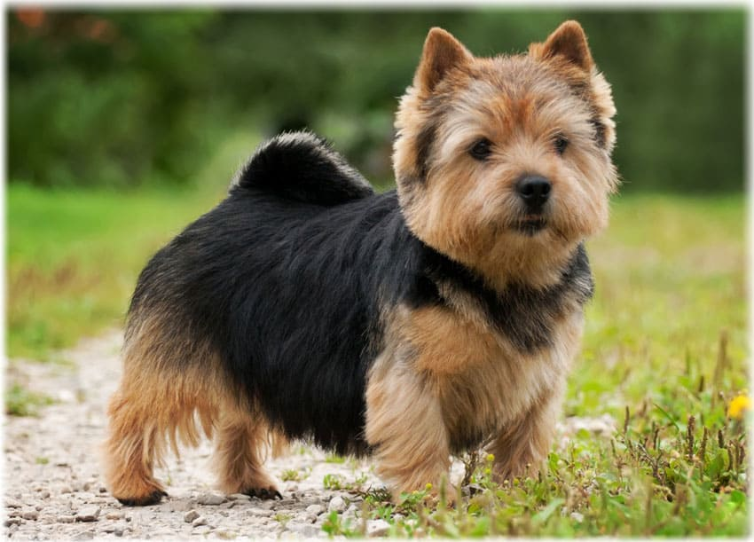 Hand-stripping of Norwich Terrier