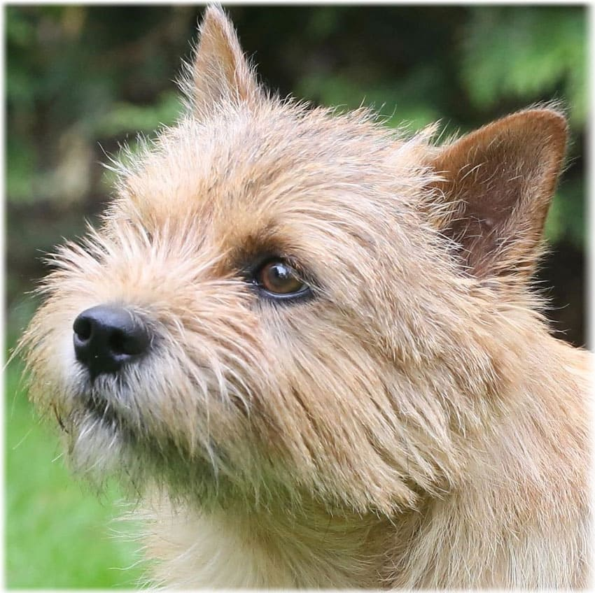 Norwich Terrier Grooming and Care