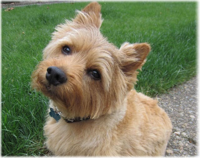 Norwich Terrier Health Problems