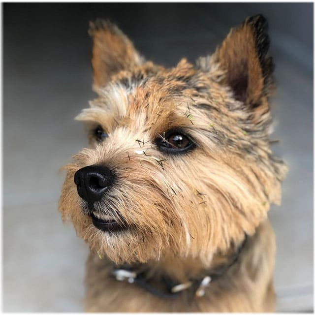 Norwich Terrier Temperament