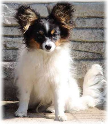 Papillons Temperament and Personality