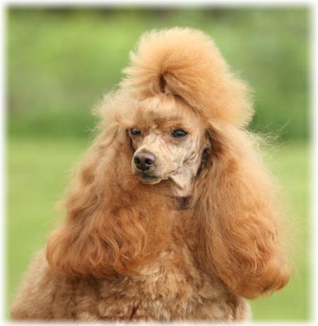 Poodle Read About Appearance Characteristics Color
