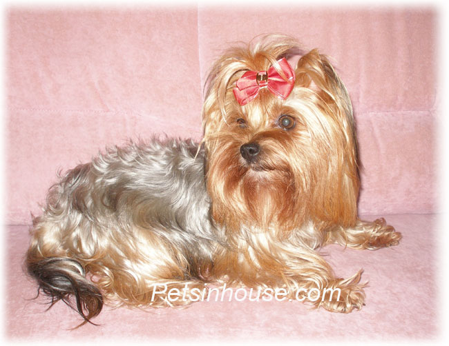 The smallest breeds of dogs: Yorkshire Terrier (Yorkshire)