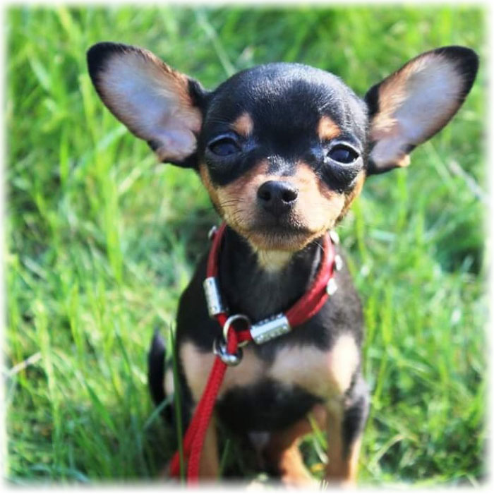 The smallest breeds of dogs: Russian Toy Terrier