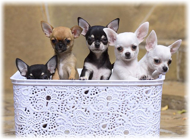 The Smallest Dog Breeds