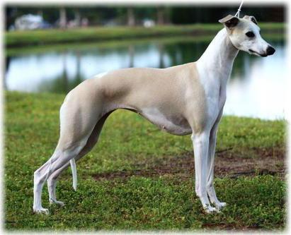 Whippet Appearance