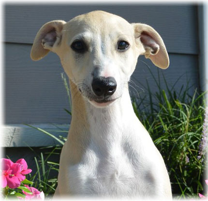 Whippet Temperament and Personality