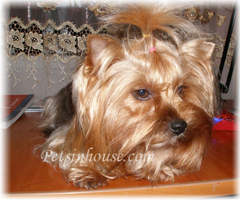 Yorkshire Terrier Appearance