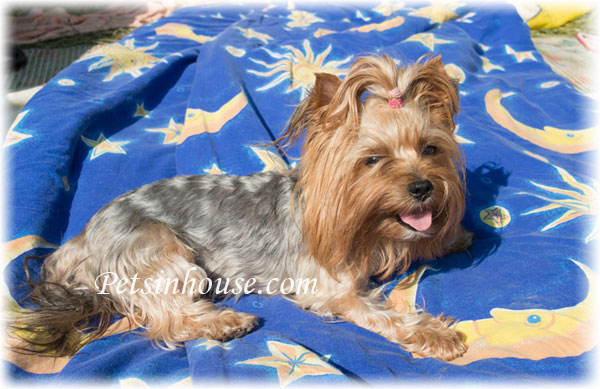 Yorkshire Terrier Temperament and Personality
